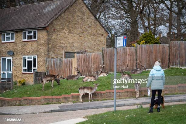A woman stops to watch the Fallow deer from Dagnam Park as they rest and graze on the grass outside homes on a housing estate in Harold Hill near...