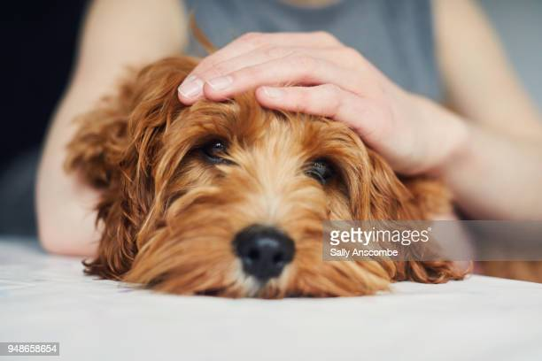 woman stroking her pet dog - aaien stockfoto's en -beelden