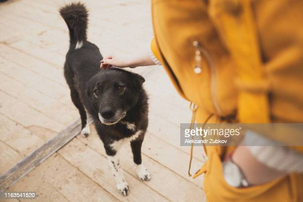 woman stroking the good old stray dog. kindness. humane treatment of animals. help homeless animals. lost animals. - stray animal stock pictures, royalty-free photos & images