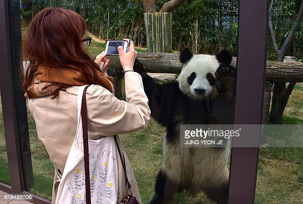 A woman take pictures of a panda named as Aibao a twoyearold female during a media preview event at South Korea's Everland Amusement and Animal Park...