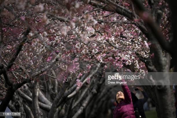 A woman takes a photo of cherry blossoms on Roosevelt Island April 10 2019 in New York City Much of the East Coast is expecting continued warm...