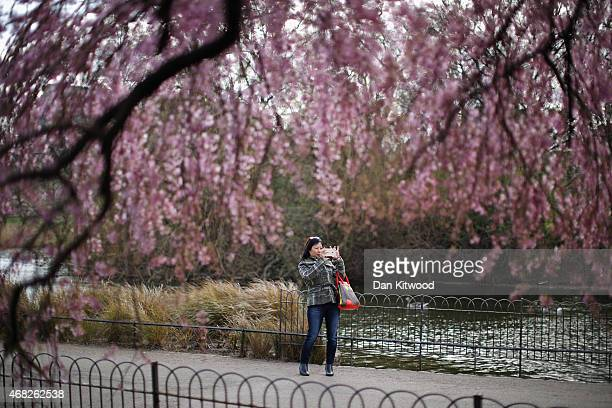 A woman takes a photograph of the blossom in St James's Park on April 1 2015 in London England Despite the sun making a brief appearance today strong...