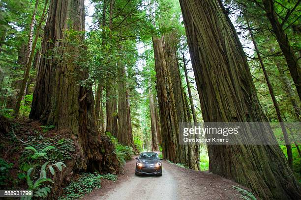 A woman takes a picture of a giant Redwood Tree in Jedediah Smith Redwoods State Park.