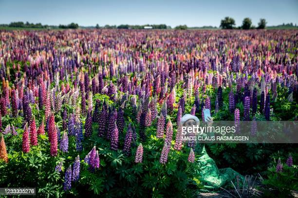 Woman takes a selfie at a lupine field in full bloom near Sollested on Lolland island in Denmark on June 8, 2021. - Denmark OUT / Denmark OUT
