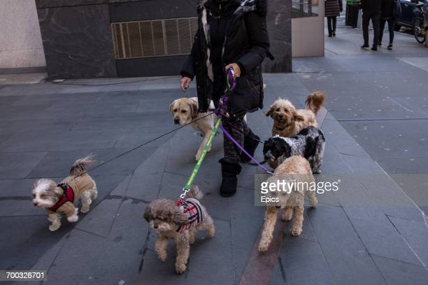A woman takes multiple dogs for a walk on New York's Upper East Side February 2017