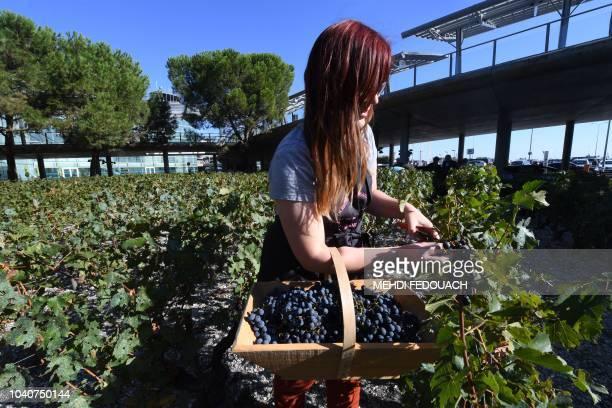 "Woman takes part in the grape harvest of ""La Croix de Guyenne"" vineyard parcel at the entrance of the Merignac airport, near Bordeaux, southwestern..."