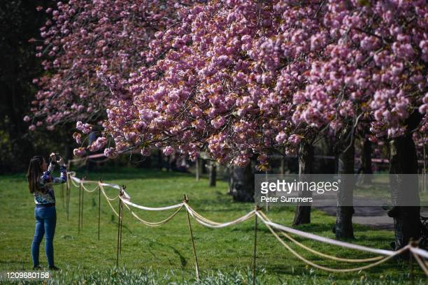 Woman takes photos of cordoned off cherry blossom trees in Greenwich Park on April 11, 2020 in London, England. Public Easter events have been...
