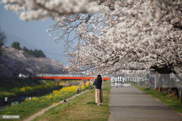 LEVEE TOYOKAWA AICHI JAPAN A woman takes photos of the blossoming cherry tree and enjoying cherry blossoms in Toyokawa The Cherry blossom also known...