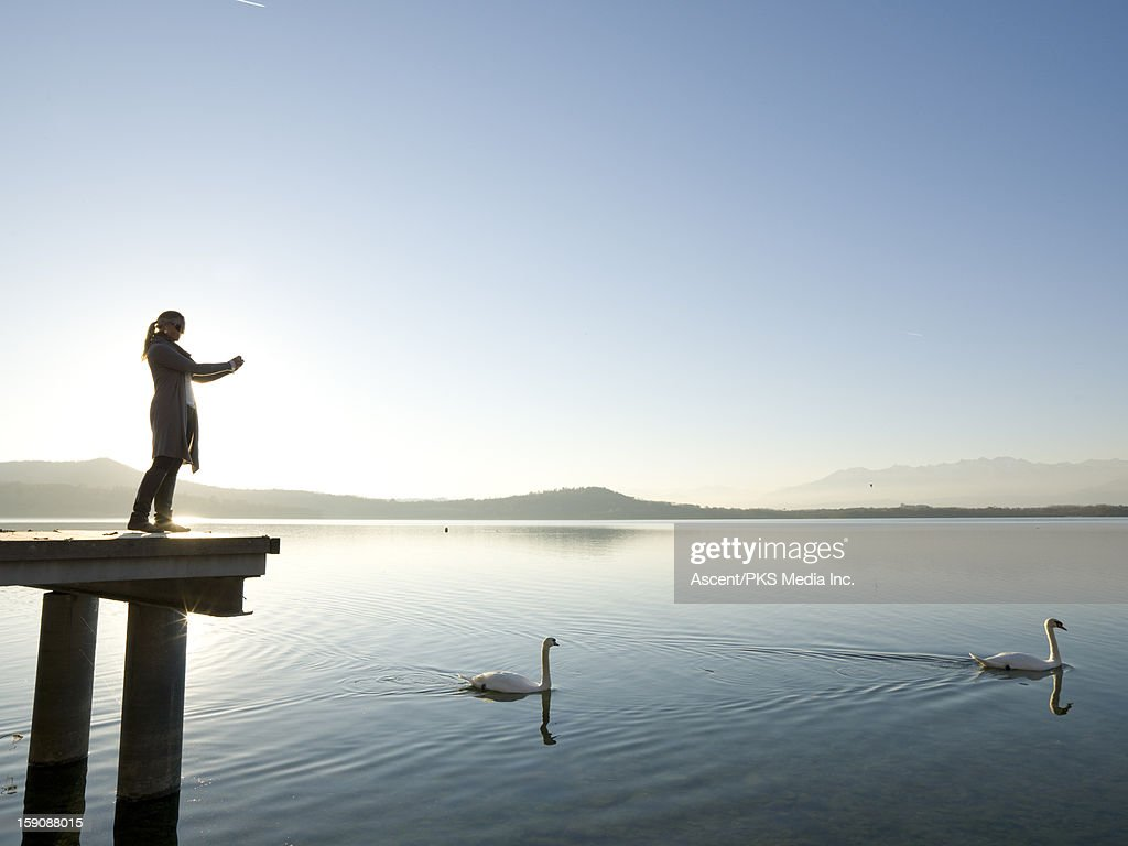 Woman takes picture of swans swimming across lake : Stock Photo