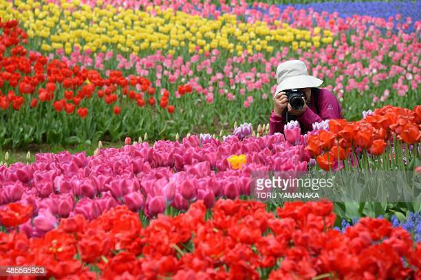 Woman takes pictures of colorful tulips in full bloom at Showa Kinen Park in Tokyo on April 19, 2014. AFP PHOTO/Toru YAMANAKA