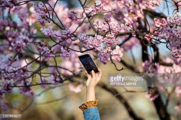 A woman takes pictures of the cherry blossoms with her smartphone at Ueno park in the Japanese capital Tokyo on March 19 2020 The Tokyo government...