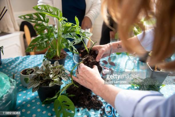 woman taking a cutting of a monstera monkey mask plant - fensterblatt aroid stock-fotos und bilder