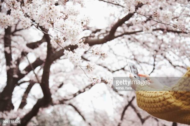 女性のスマート フォンで桜の花の写真を撮る