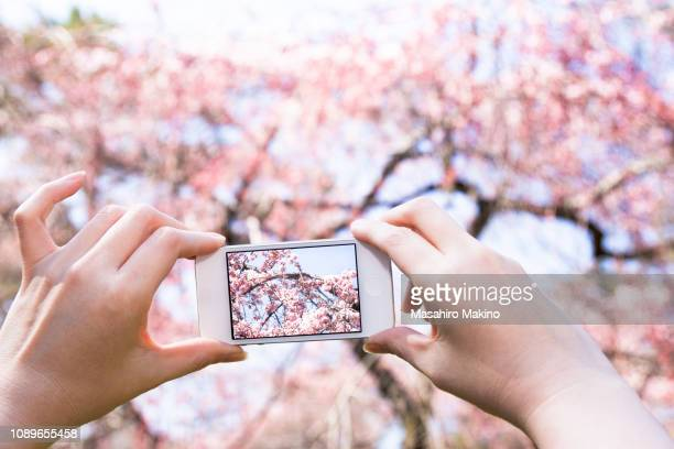 woman taking photo of cherry blossoms with mobile phone - 撮影 ストックフォトと画像