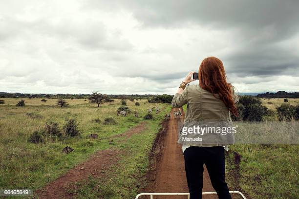 woman taking photograph of zebras from top of vehicle in wildlife park, nairobi, kenya - animated zebra stock pictures, royalty-free photos & images