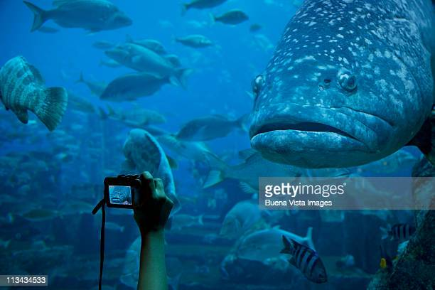 Woman taking picture of a grouper