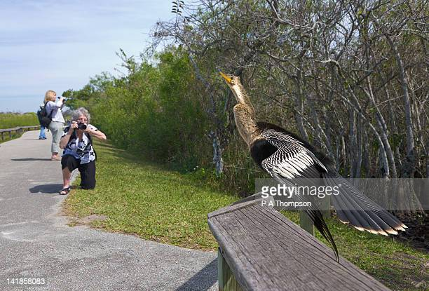 woman taking picture of an anhinga, anhinga trail, everglades, florida, usa mr - anhinga_trail stock pictures, royalty-free photos & images