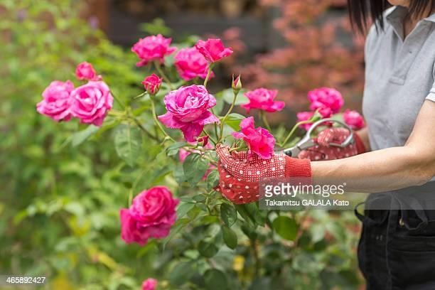 Woman tending to rose bush