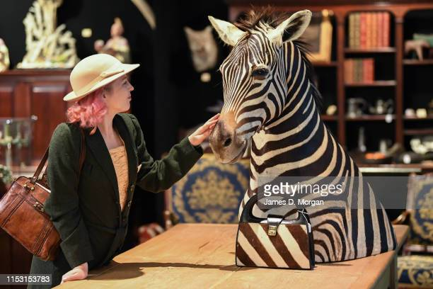 A woman touches a taxidermied zebra for sale by Grange Antiques from Tasmania at Royal Randwick Racecourse on June 02 2019 in Sydney Australia The...