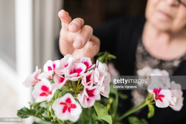 woman touching flowers on her window - begonia stock pictures, royalty-free photos & images
