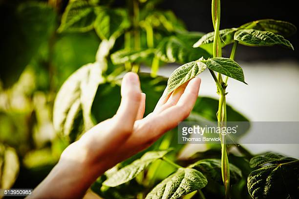 Woman touching leaf on pea vine with hand