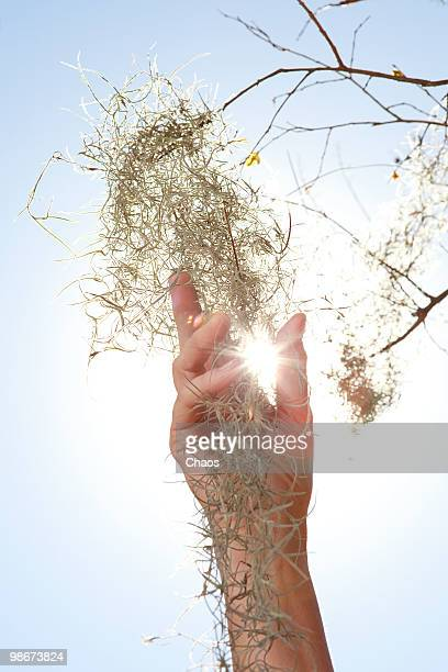 woman touching spanish moss in tree. - newhealth stock photos and pictures