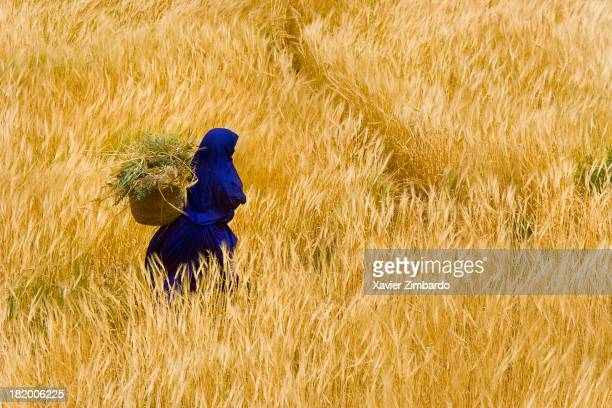 Woman traditionally dressed in blue carries wheat on her back while she is harvesting on April 14 2006 in Southern Morocco