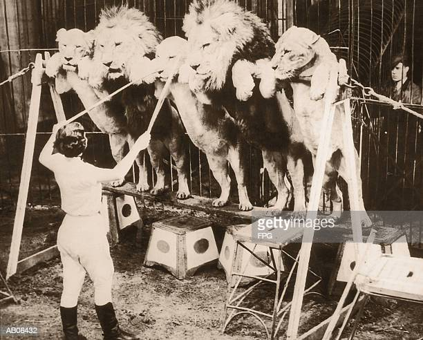 Woman training circus lions, rear view (B&W)