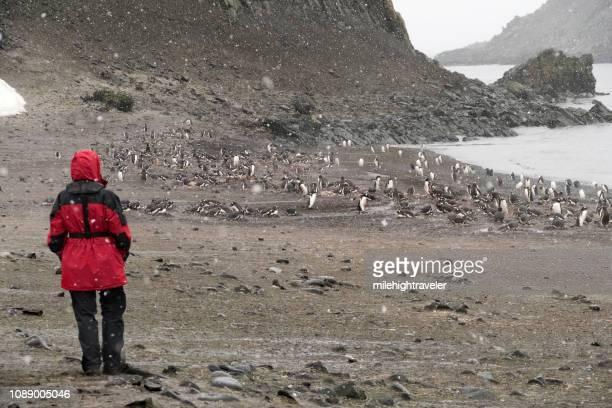 Woman traveler explores nesting gentoo penguin colony Aitcho Island South Shetlands Islands Antarctica