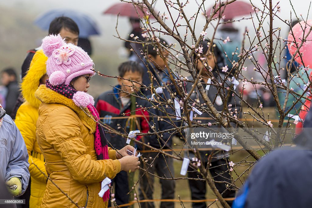 Woman tying fortune to blossom tree : Stockfoto