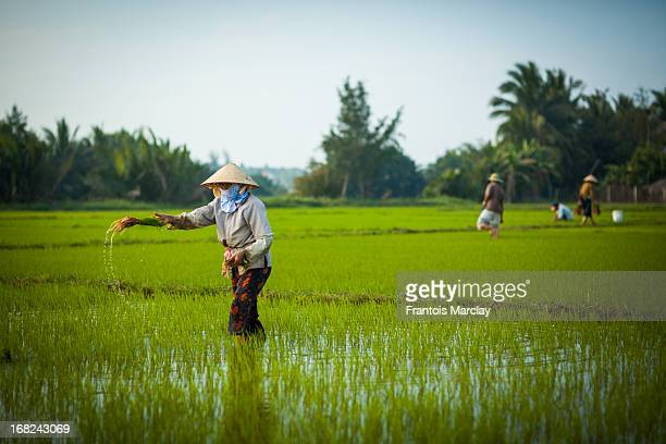 CONTENT] Woman unplanting rice seedlings to transplant them in another paddy field A very tedious task necessary to cultivate quality rice