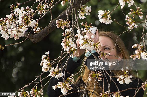 A woman uses her cell phone to take a pictures as the cherry blossoms begin to bloom at the Tidal Basin in Washington DC March 22 2016 / AFP / Jim...