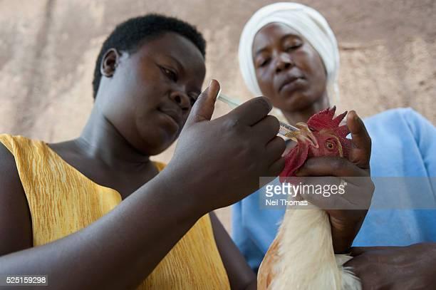 A woman vaccinates a chicken in the village of Bumweru Uganda