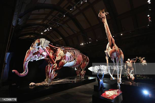 A woman views a plastinated Asian elephant gorilla and giraffe in the 'Animal Inside Out' exhibition at the Natural History Museum on April 3 2012 in...