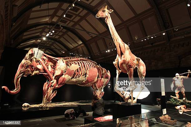 A woman views a plastinated elephant giraffe and gorilla on display at the Animal Inside Out exhibition at Natural History Museum on April 3 2012 in...