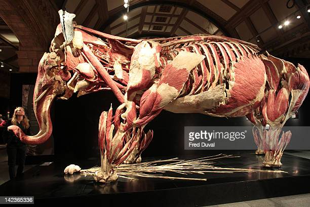 A woman views a plastinated elephant on display at the Animal Inside Out exhibition at Natural History Museum on April 3 2012 in London England