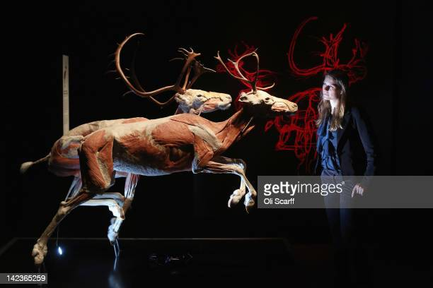 Woman views plastinated reindeer in the 'Animal Inside Out' exhibition at the Natural History Museum on April 3, 2012 in London, England. The...