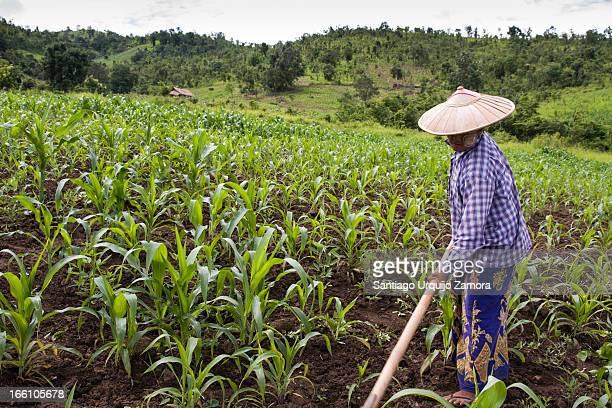 CONTENT] Woman villager weeding with a hoe in her corn field on the slopes around Inle Lake Taunggyi District of Shan State Myanmar