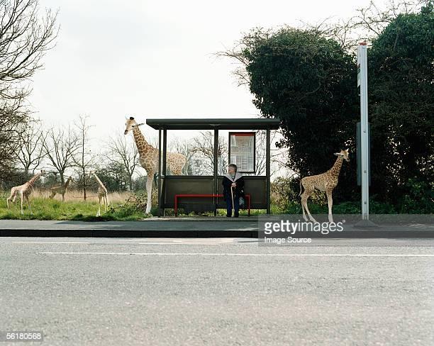Frau warten auf den bus umgeben von Giraffen