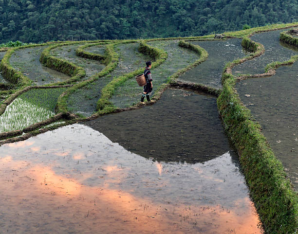 Woman Walking Along Rice Terrace At Sunset Wall Art