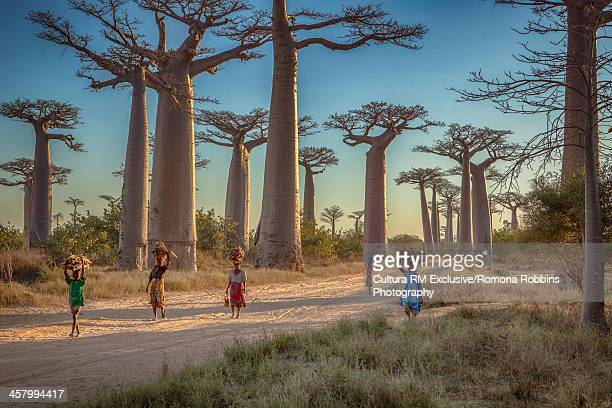 woman walking along the avenue of the baobabs, menabe, madagascar, africa - madagascar stock photos and pictures