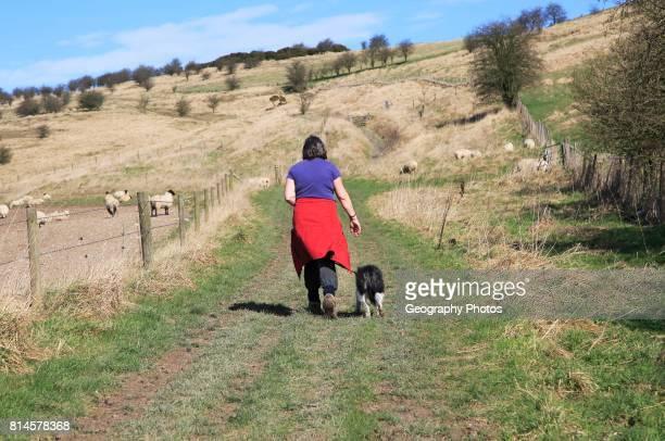 Woman walking dog on lead past sheep, Cherhill Downs, Wiltshire, England, UK.