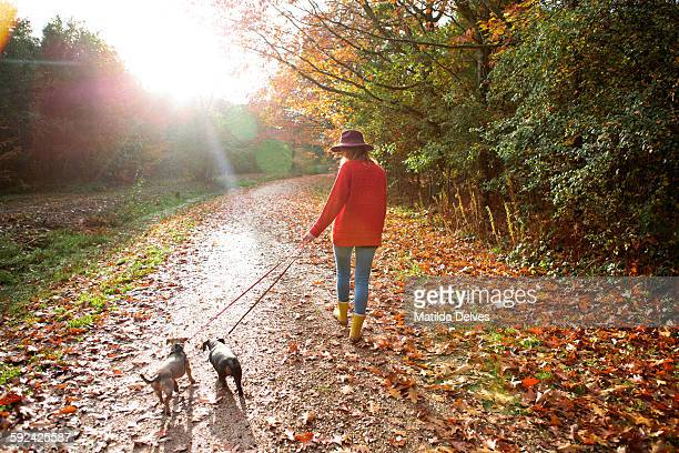 woman walking dogs in an autumn woodland - dog walker stock photos and pictures