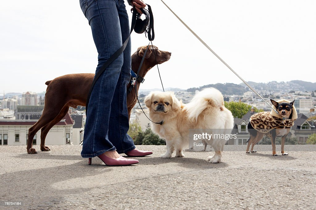 Woman Walking Dogs : Stock Photo