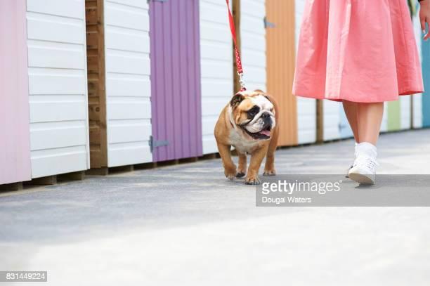 Woman walking English Bulldog beside beach huts.