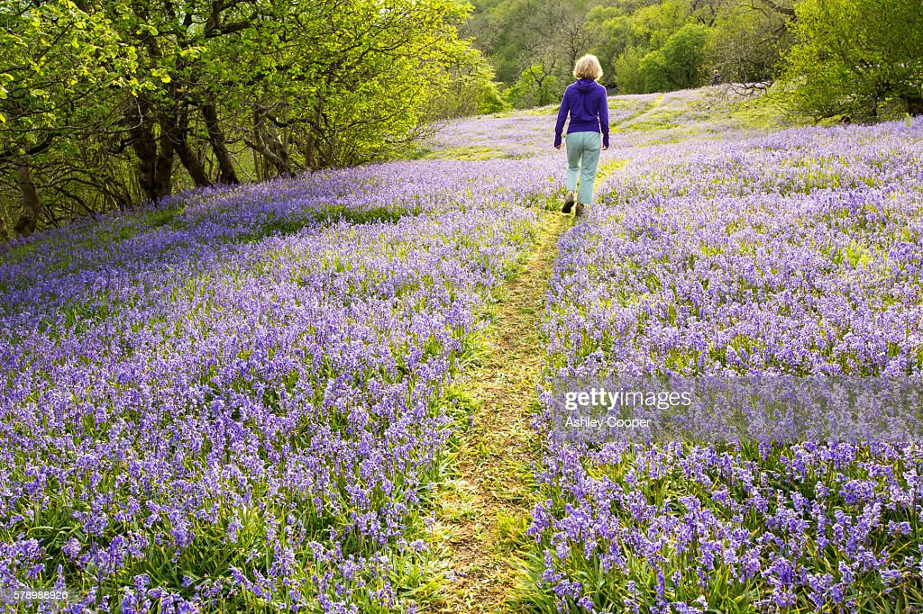 A woman walking through Bluebells growing on a limestone hill in the Yorkshire Dales National Park, UK. : Stock Photo