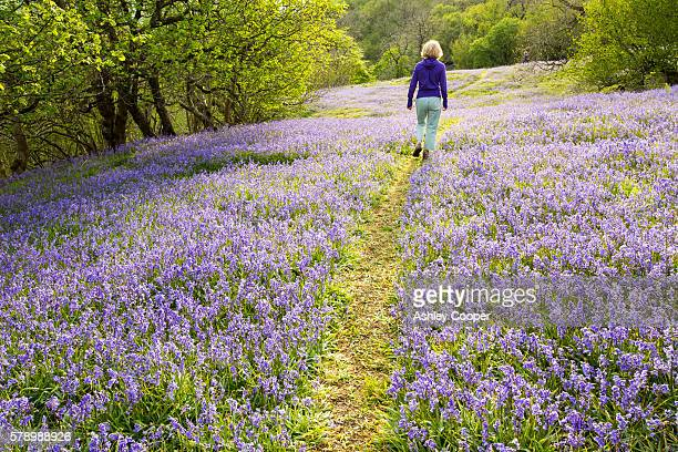 a woman walking through bluebells growing on a limestone hill in the yorkshire dales national park, uk. - riserva naturale parco nazionale foto e immagini stock