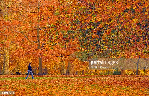 woman walking through hyde park during autumn. - hyde park london stock photos and pictures