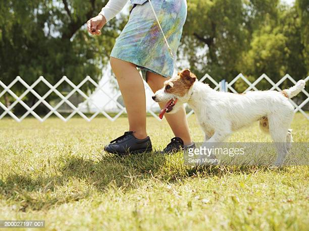 woman walking with jack russell terrier at dog show, suface level - dog show stock pictures, royalty-free photos & images