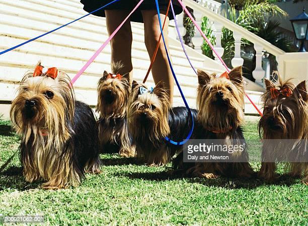 woman walking yorkshire terriers, low section - grupo mediano de animales fotografías e imágenes de stock